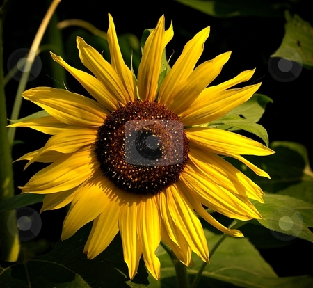 Detail of sunflower stock photo, Detail of a yellow sunflower with green blured leaves background by Juraj Kovacik