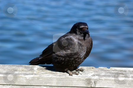 Crow stock photo, A crow sitting on a railing taking the sun! by Tom Weatherhead