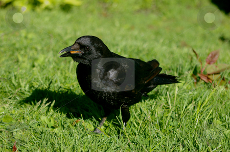 Crow in the grass stock photo, A crow having some lunch in the grass. by Tom Weatherhead