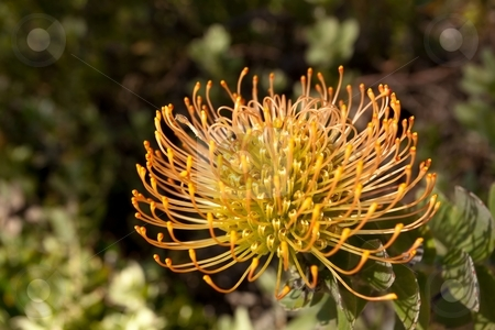 Pincushion Protea stock photo, Red Pincushion Protea (Leucospermum cordifolium) belongs to the protea family and is indigenous to South Africa. by Mariusz Jurgielewicz