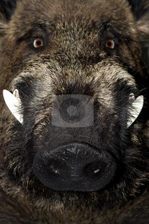 Wild boar stock photo, Head of a wild boar , close up . by Vladyslav Danilin