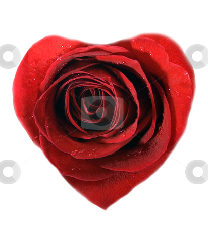Heart stock photo, Heart red rose, close-up isolated on white background by Vladyslav Danilin