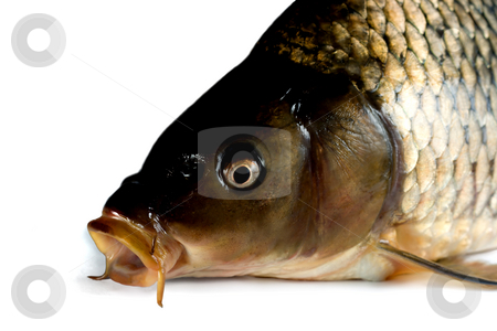 Head carp close-up stock photo, Head carp close-up,  isolated on white background by Vladyslav Danilin