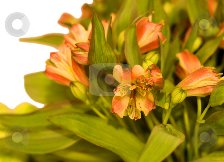 Flowerses blossom stock photo, Flowerses blossom close-up, isolated on white background by Vladyslav Danilin
