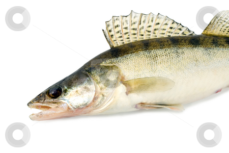 Fish stock photo, Fish walleye zander pike-perch , close-up isolated on white background by Vladyslav Danilin