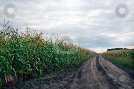 Cornfield stock photo, Cornfield agriculture background , scenics cloudscape by Vladyslav Danilin