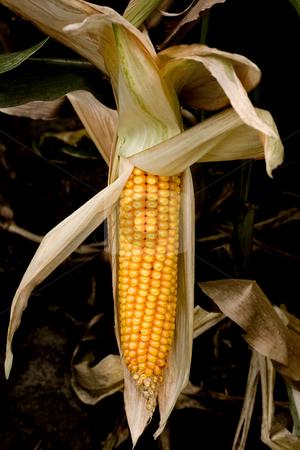 Corn  stock photo, Corn crop in field outdoor background by Vladyslav Danilin
