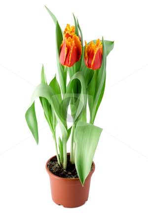 Tulips flower stock photo, Tulips flower in flowerpot , close-up isolated on white background by Vladyslav Danilin