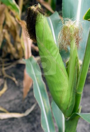 Corn in husks fresh corn stock photo, Corn in husks fresh corn raw corn green corn husks corn on the cob by Vladyslav Danilin