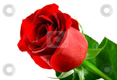 Flowering rose stock photo, Flowering rose isolated on white background by Vladyslav Danilin