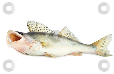 Fish predator stock photo, Fish walleye zander pike-perch , isolated on white background by Vladyslav Danilin