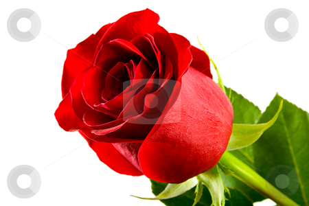 Red roses stock photo, Red roses close-up isolated on white background by Vladyslav Danilin