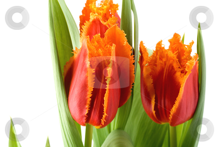 Tulips  stock photo, Tulips spring flowers close-up , isolated on white background by Vladyslav Danilin