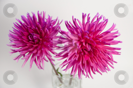 Pink dahlias in glass stock photo, A pair of cactus dahlias on white by Shi Liu