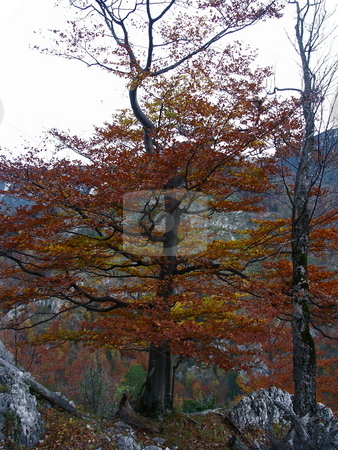 Autumnal beech stock photo, Herbstliche Buche auf Rax / autumnal beech to Rax by Thomas K?