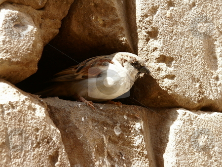 Sparrow  stock photo, Sperling in Felsniesche / sparrow an a stone by Thomas K?