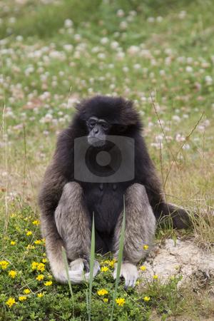 Gibbon stock photo, Gibbon monkey sitting in the grass by Inge Schepers