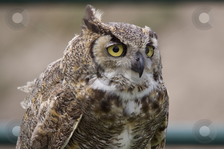 Owl stock photo, Close-up photo of an owl by Inge Schepers