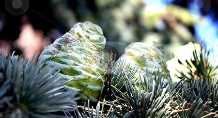Fir Cone stock photo, Green fir cone with a little sky in the background by Henrik Lehnerer
