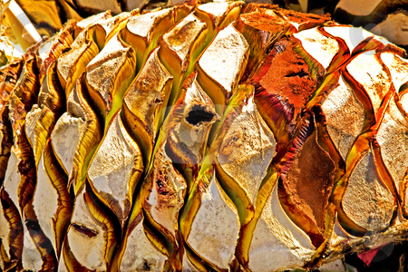 Agave Abstract stock photo, Agave Fruit Used to Produce Tequila in Mexico Basis for a nature abstract by William Perry