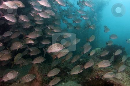 Schooling Fish stock photo, Sea of Cortez by Greg Amptman
