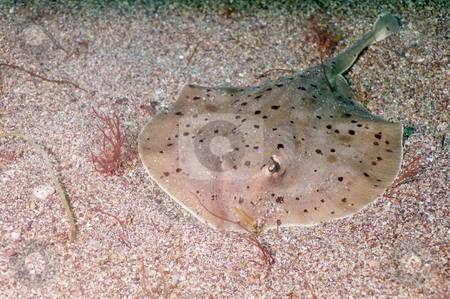 Stingray stock photo, Sea of Cortez by Greg Amptman