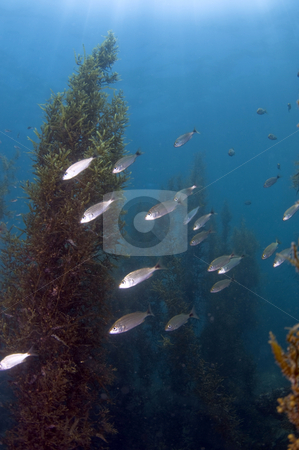 Undersea Forest stock photo,  by Greg Amptman