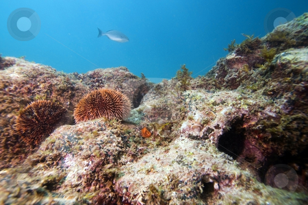 Sea Urchins on Reef stock photo,  by Greg Amptman