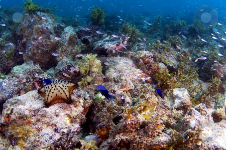 Reef Life of the Sea of Cortez stock photo,  by Greg Amptman