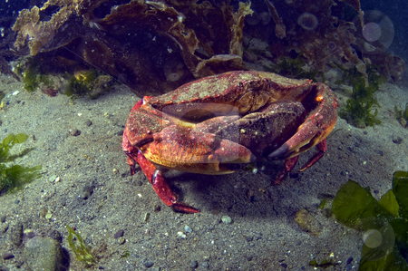Mating Red Rock Crabs stock photo,  by Greg Amptman