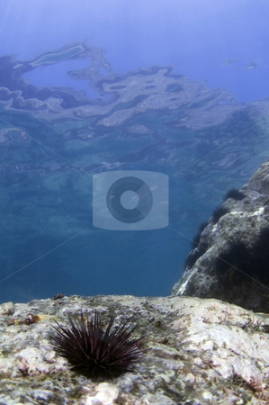 Sea Urchin Near the Surface stock photo,  by Greg Amptman