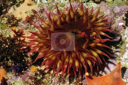 Anemone stock photo,  by Greg Amptman
