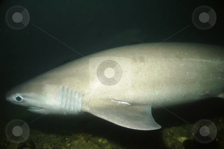 Six Gill Shark stock photo, Rarely seen by divers the 6 gill shark is an a species herald from the the time of the dinosaurs. by Greg Amptman