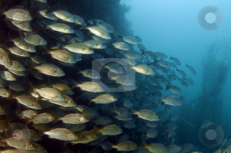 Schooling Fish stock photo,  by Greg Amptman