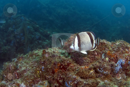 Scyth Butterfly Fish stock photo,  by Greg Amptman