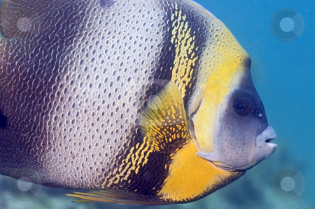 Cortez Angle Fish stock photo, This particular species of angel fish can only be found in the Sea of Cortez by Greg Amptman