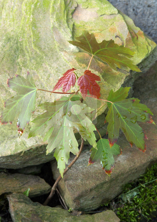 Silver Maple Seedling stock photo, Seedling of a Silver Maple (Acer saccharinum) successfully growing between rocks. by Kathy Piper