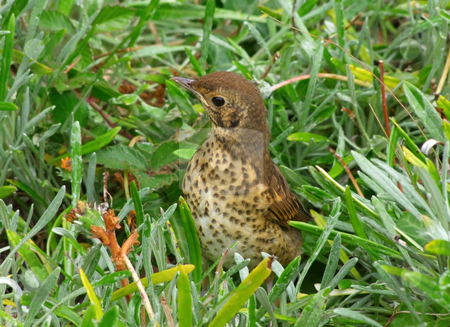 A cute young baby Song Thrush hiding in long grass. stock photo, A cute young baby Song Thrush hiding in long grass. by Stephen Rees