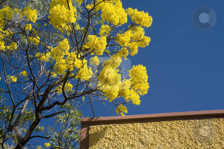 Yellow Flower Brown Adobe Wall Mexico stock photo, Vibrant Yellow Flower Tree, Guayacan Tabebuia, Brown Wall, Guadalajara Mexico by William Perry