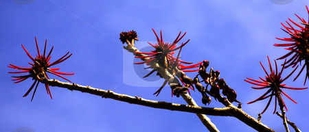 Red Coral Tree Erythrina Blooming Mexico stock photo, Red Coral Tree Erythrina Flowers blooming blue sky Mexico by William Perry