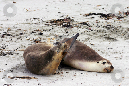 Pair of Australian sea lion friends stock photo, Pair of Australian sea lion (Neophoca cinerea) friends on a beach at Seal Bay, Kangaroo Island, South Australia by Stephen Goodwin
