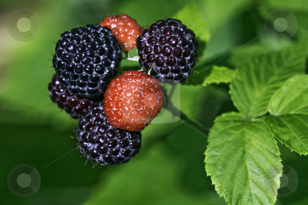 Black raspberries ready to pick in a home garden stock photo, Black raspberries (Rubus occidentalis) ripening at the tip of a cane in a home garden by Stephen Goodwin