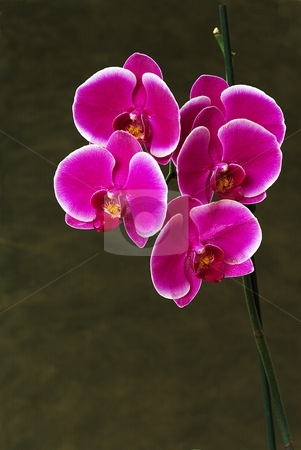 Pink orchid on neutral background stock photo, Pink orchids flowers on a neutral background by Juraj Kovacik