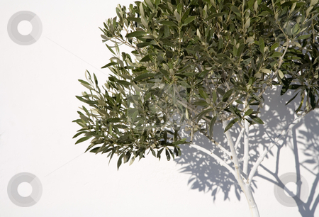 Olive Tree stock photo, Olive tree in front of a white wall, Santorini, Cyclades, Greece, Europe by mdphot