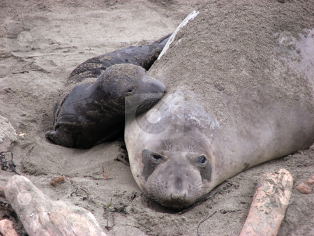 Elephant Seal Mother and Pup stock photo, An elephant seal pup stays close to its mother amongst hundreds of others on the beaches near San Simeon, Central Coast of California by Bernard Cruz