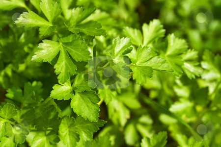 Parsley stock photo, Closeup of fresh parsley in a biologic crop by ANTONIO SCARPI
