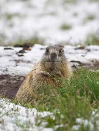 Marmot stock photo, Marmot in a snow covered meadow in Italian Alps by ANTONIO SCARPI