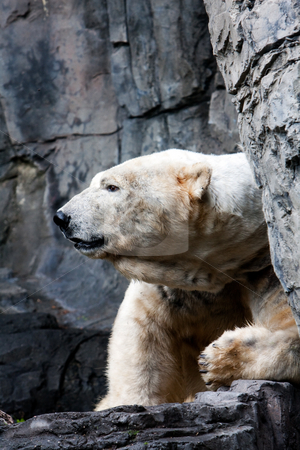 Polar bear head stock photo, The huge head and face of an endangered polar snow bear (Ursus maritimus) between a rock formation by Paul Hakimata