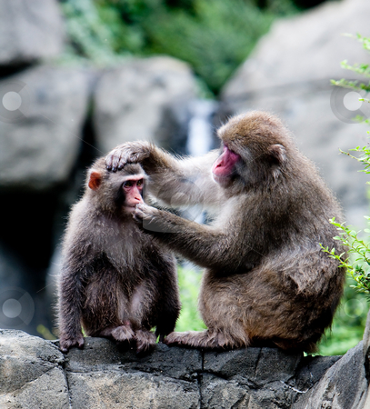 Snow Monkeys grooming stock photo, Two Japanese snow monkeys sitting on rock formation grooming, while one holds the others head and trying to put something in his mouth by Paul Hakimata