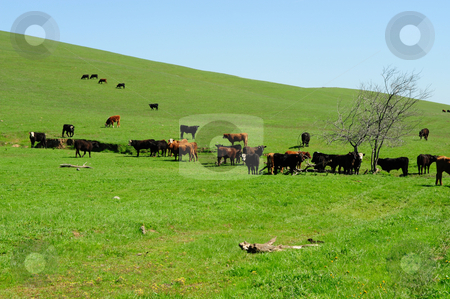 Cattle Herd And Grassy Hills stock photo, Small herd of brown and black cattle feeding on the new spring grass growing on the open rolling hills by Lynn Bendickson